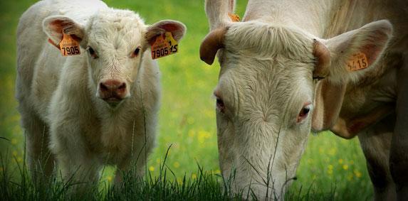 Viande bovine : Validation de la méthode de calcul de l'indicateur de prix de revient